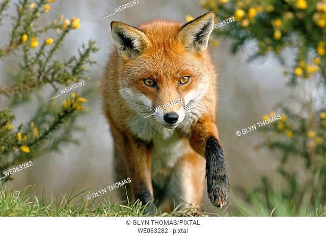 Red fox vulpes vulpes stalking prey