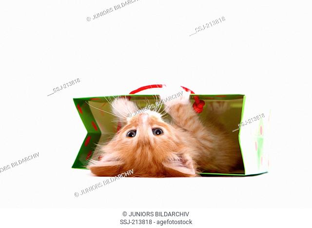 Norwegian Forest Cat. Kitten (6 weeks old) playing in a paper bag. Studio picture against a white background. Germany