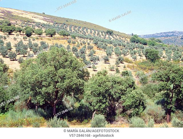 Olive groves. Las Villuercas, Caceres province, Extremadura, Spain