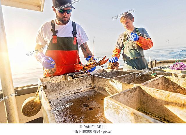 Fishermen measuring lobster