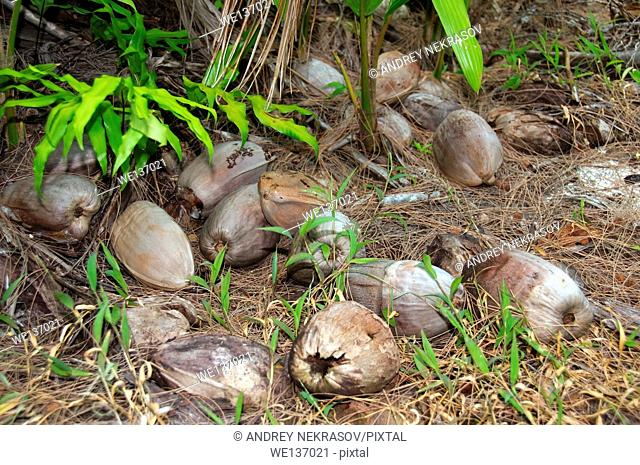 Sprouted coconut in jungle, Denis island, Seychelles