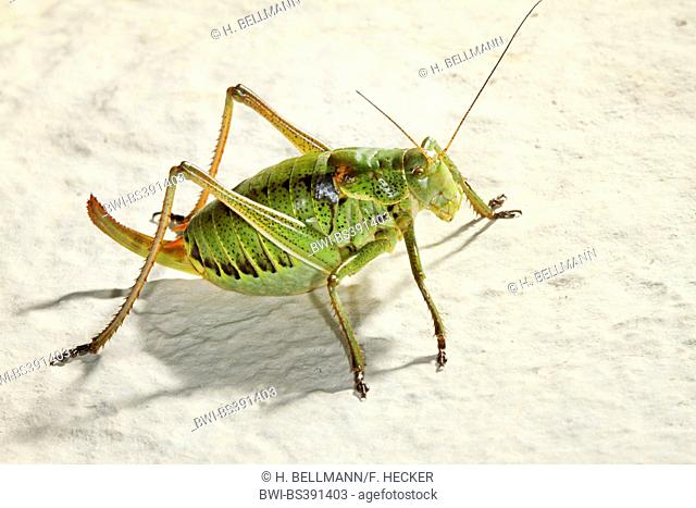 Large saw tailed bush cricket, Large saw-tailed bush-cricket (Polysarcus denticauda, Orphania denticauda), female, Germany