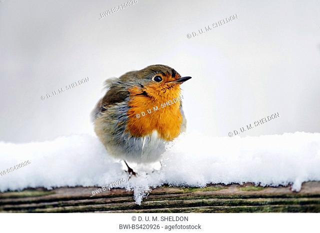 European robin (Erithacus rubecula), in snow, Germany, Bavaria