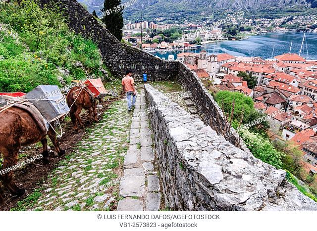 Man with loaded donkeys going down to Kotor from citadel . Montenegro