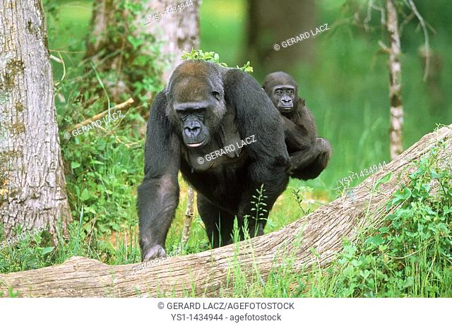 EASTERN LOWLAND GORILLA gorilla gorilla graueri, MOTHER CARRYING YOUNG ON ITS BACK