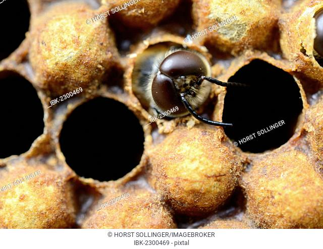 Honey bees (Apis mellifera), drone hatching from brood cell