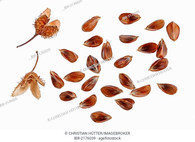 Beechnuts of the European Beech or Common Beech (Fagus sylvatica)