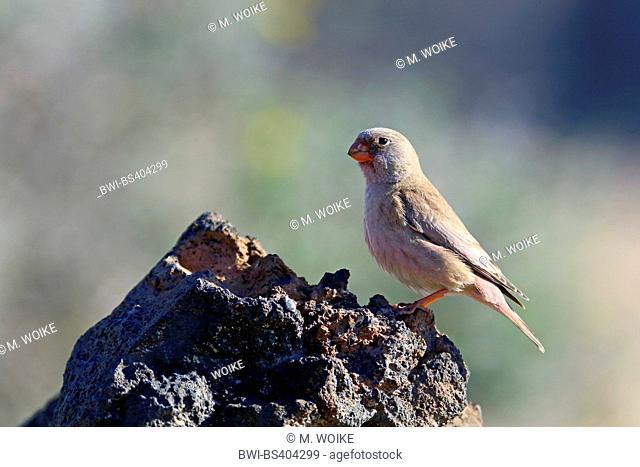 trumpeter finch (Rhodopechys githaginea, Bucanetes githagineus), male sits on a stone, Canary Islands, Fuerteventura