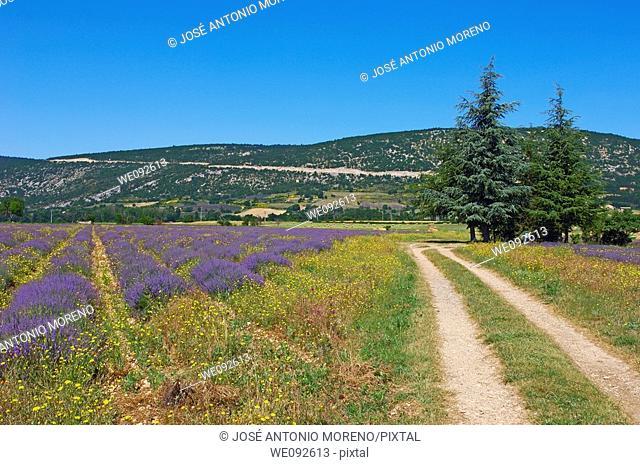 Lavender field at Sault, provence  Alpes-de-Haute-Provence, France