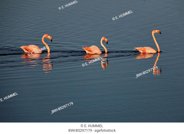 Greater flamingo, American flamingo, Caribbean Flamingo (Phoenicopterus ruber ruber), three flamingos swimming one after another, Ecuador, Galapagos Islands