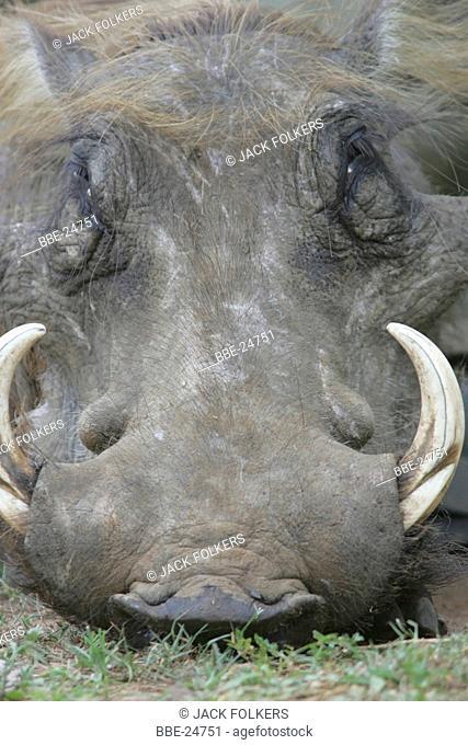 Portrait of a Warthogor African Lens-Pig (Phacochoerus africanus)