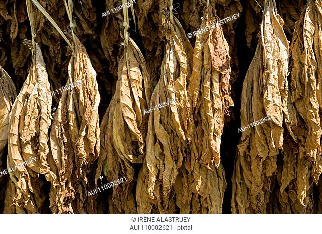 Dominican Republic - Centre - The Cibao - Tobacco Valley - Plantation - Drying leaves