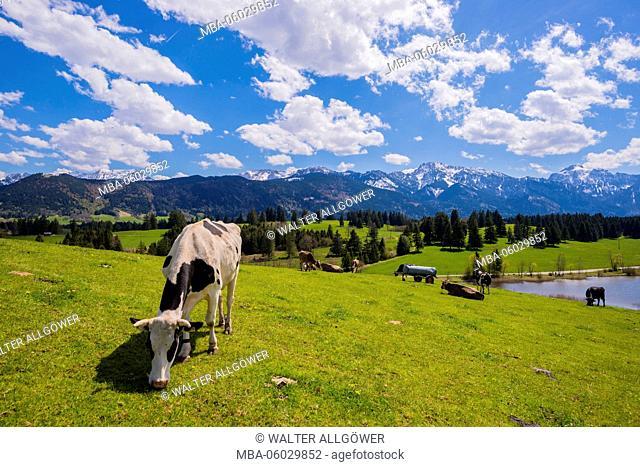 Cows on the pasture, Hegratsrieder lake, alps, near Füssen (town), east Allgäu, Allgäu, Bavarians, Germany, Europe