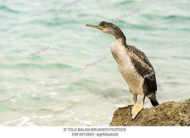 Shag (Phalacrocorax aristotelis)S¨Algar, Porto Colom.Felanitx.Mallorca. Balearic Islands. Spain