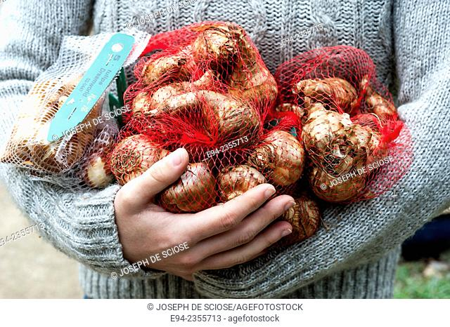 A partial view of a woman holding a bunch of tulip bulbs in a garden