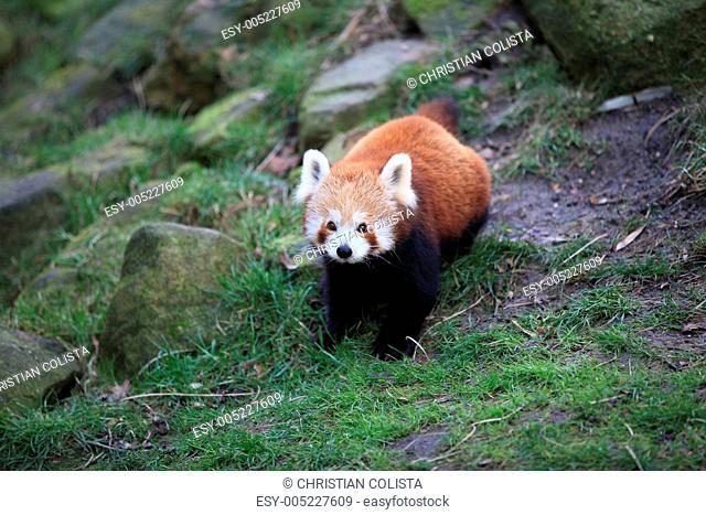 Kleiner Panda in Nahaufnahme