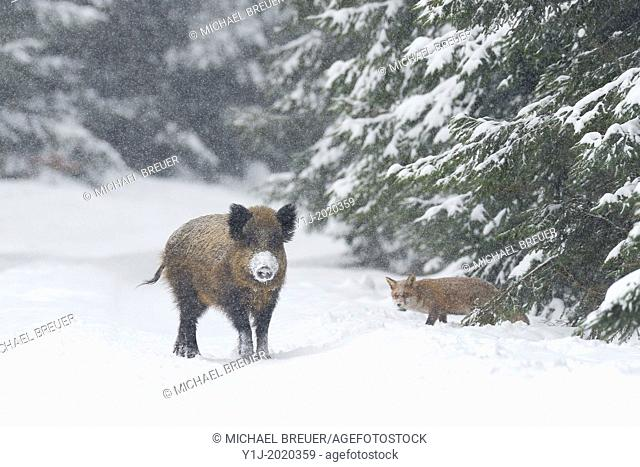 Wild boar and Red fox in winter, Sus scrofa, Bavaria, Germany, Europe