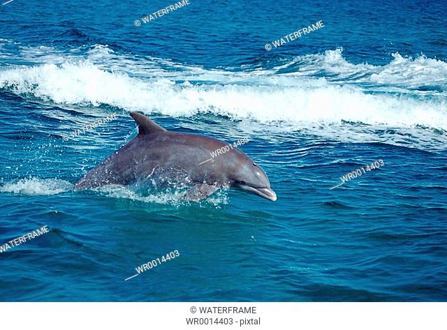 Bottlenose Dolphin, Tursiops truncatus, Caribbean Sea, Bahamas