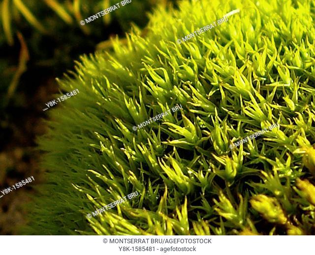Green Moss closeup
