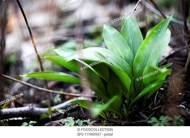 A wild garlic plant