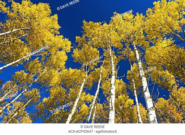 Aspen trees, Prince Albert National Park, Saskatchewan, Canada