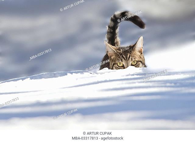 Cat, snow, hide, animal, pet, house cat, EKH, day release prisoner, one, striped, play, running into space, look view, lurk, go hunting, carefully, curiosity