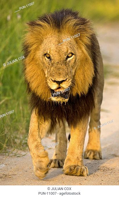 Male lion Panthera leo walking in evening light, Mala Mala, South Africa