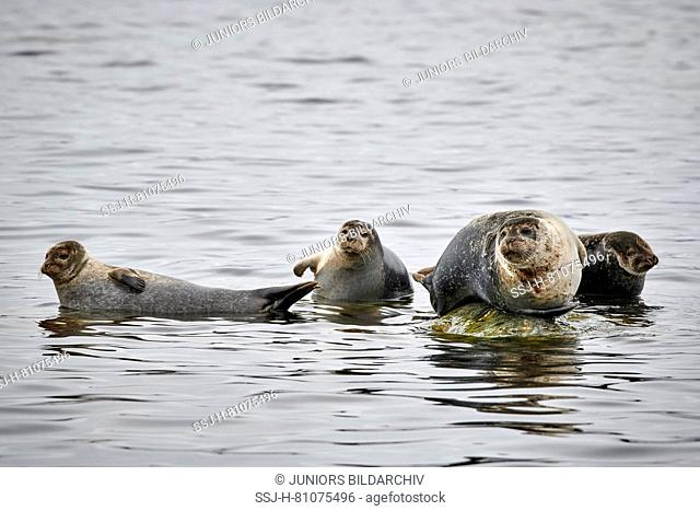 Harbour Seal (Phoca vitulina). Group resting on a rock at the shore. Svalbard, Norway