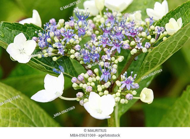 Hydrangea, flower head