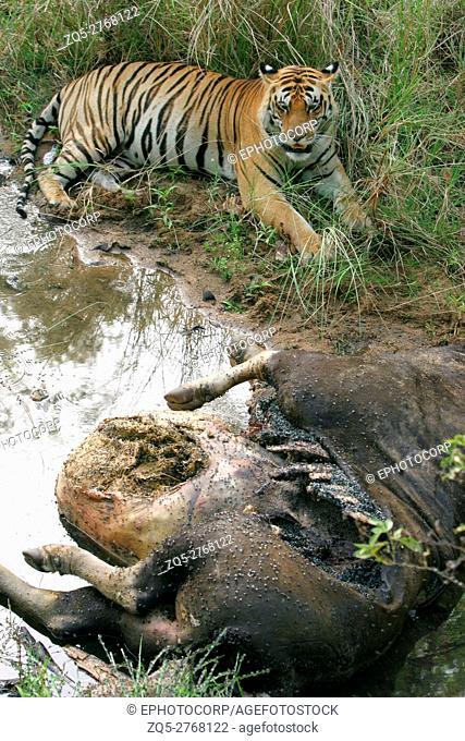 Male tiger, Panthera tigeris, eating gaur, Kanha National Park, Madhya Pradesh, India