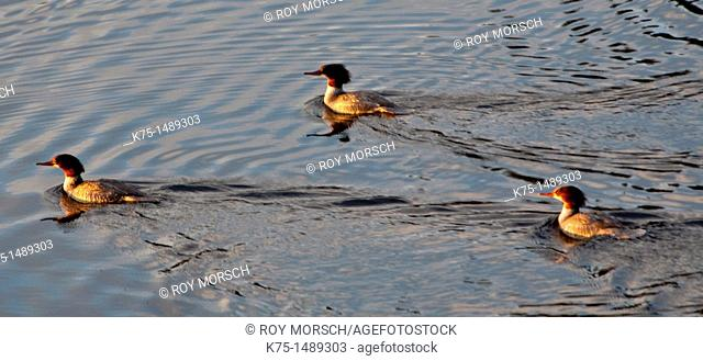Two males and one female red breasted mergansers