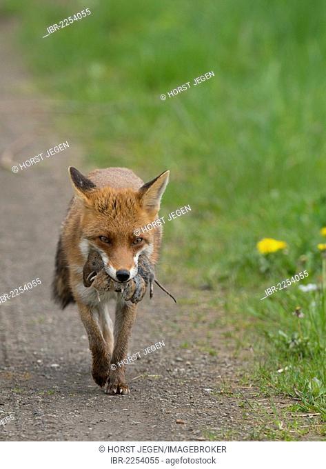 Red Fox (Vulpes vulpes), Bitburg, Eifel region, Rhineland-Palatinate, Germany, Europe