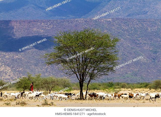 Kenya, lake Magadi, Masai cattle