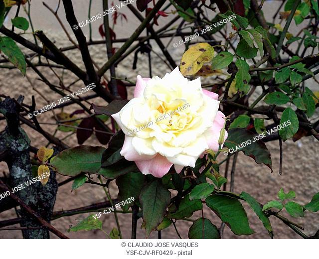 Flowers, rose, white rose, Jardim Botânico, City, Rio de Janeiro, Brazil