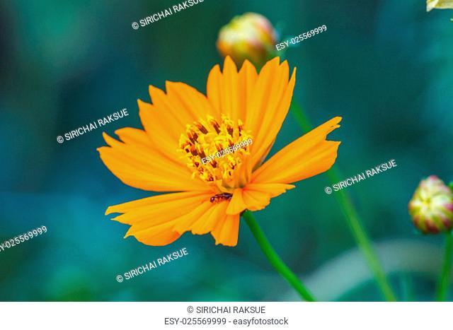 Marigold flowers field, summer in garden Thailand