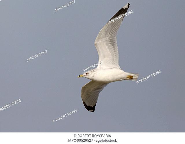 Ring-billed Gull (Larus delawarensis), Ohio
