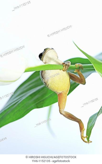 Tree Frog, Japan, Fukushima