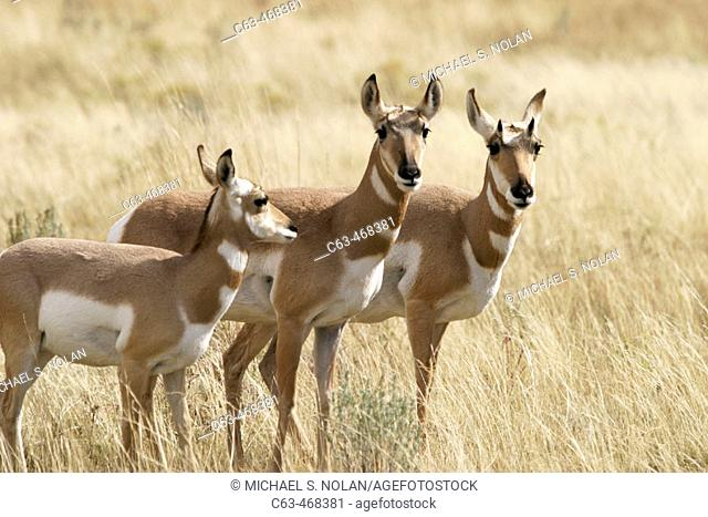 Three female Pronghorn Antelope (Antilocapra americanus) in Yellowstone National Park, Wyoming, USA