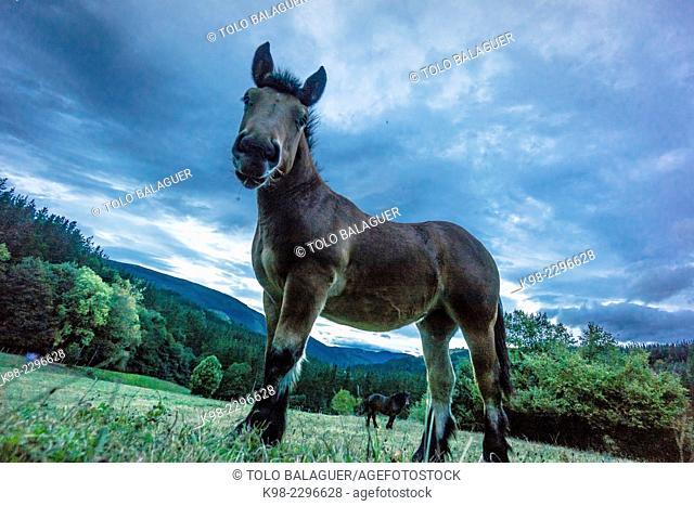 Horse grazing in parque natural Gorbeia,Vizcaya, Euzkadi, Spain