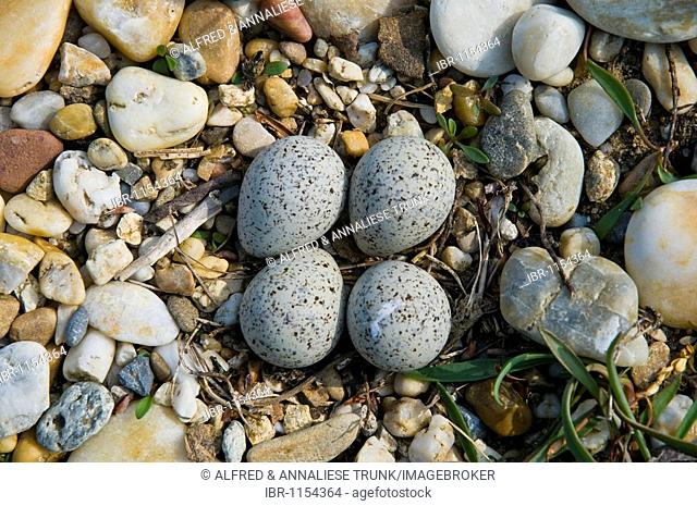 Nest of a Little Ringed Plover (Charadrius dubius)