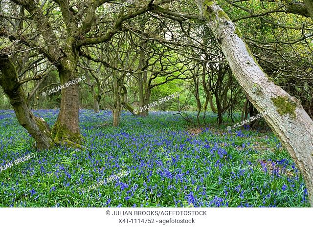 A bluebell wood in Oxfordshire, UK  Springtime, May