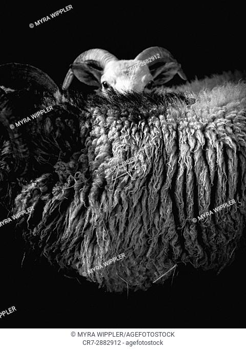 Abstract black and white sheep