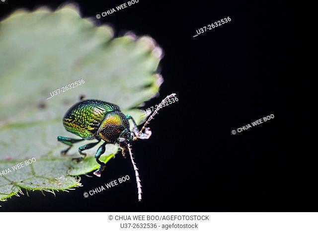 Beetle. Image taken at Stutong Forest Reserve Parks, Sarawak, Malaysia