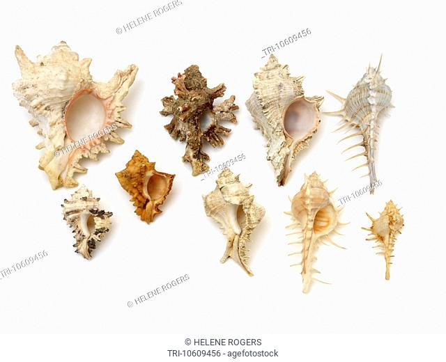Gastropods Selection of Murex