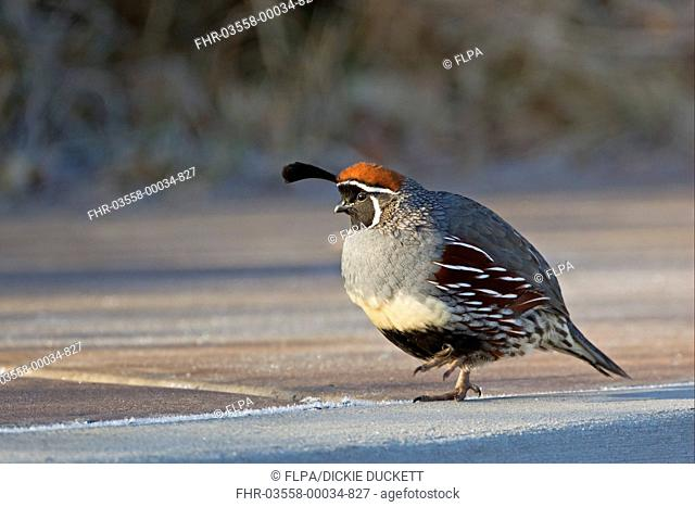 Gambels Quail Callipepla gambelii adult male, walking on frost covered ground, Bosque del Apache National Wildlife Refuge, New Mexico, U S A , december