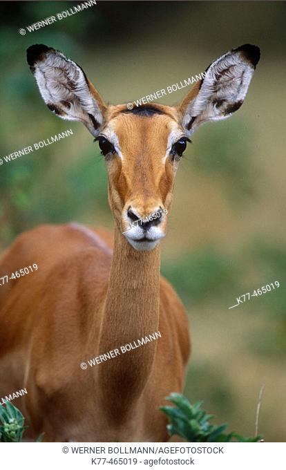 Impala, female (Aepyceros melampus). Samburu W.R., Kenya