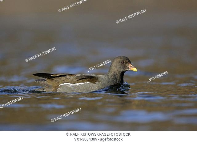 Common Moorhen ( Gallinula chloropus ) swimmin on nice colored open water, wildlife, Europe