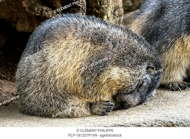 Young Alpine marmot (Marmota marmota) sleeping curled up on rock in the mountains