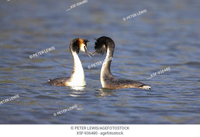 Great crested Grebes Podiceps cristatus displaying Hampshire