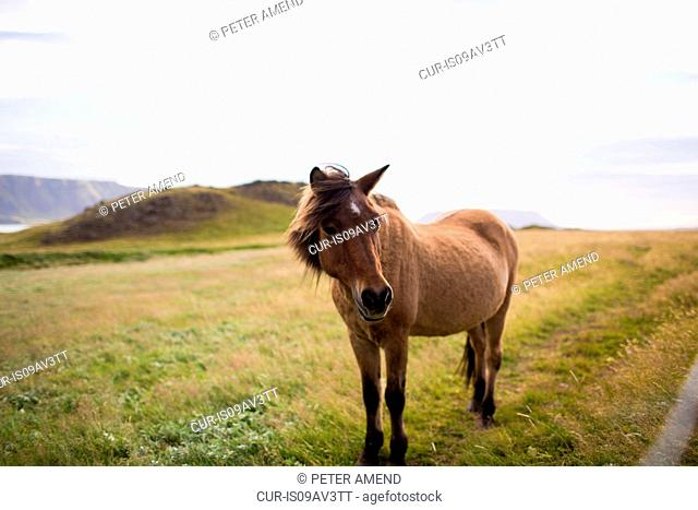 Horse in field landscape, looking at camera, Iceland